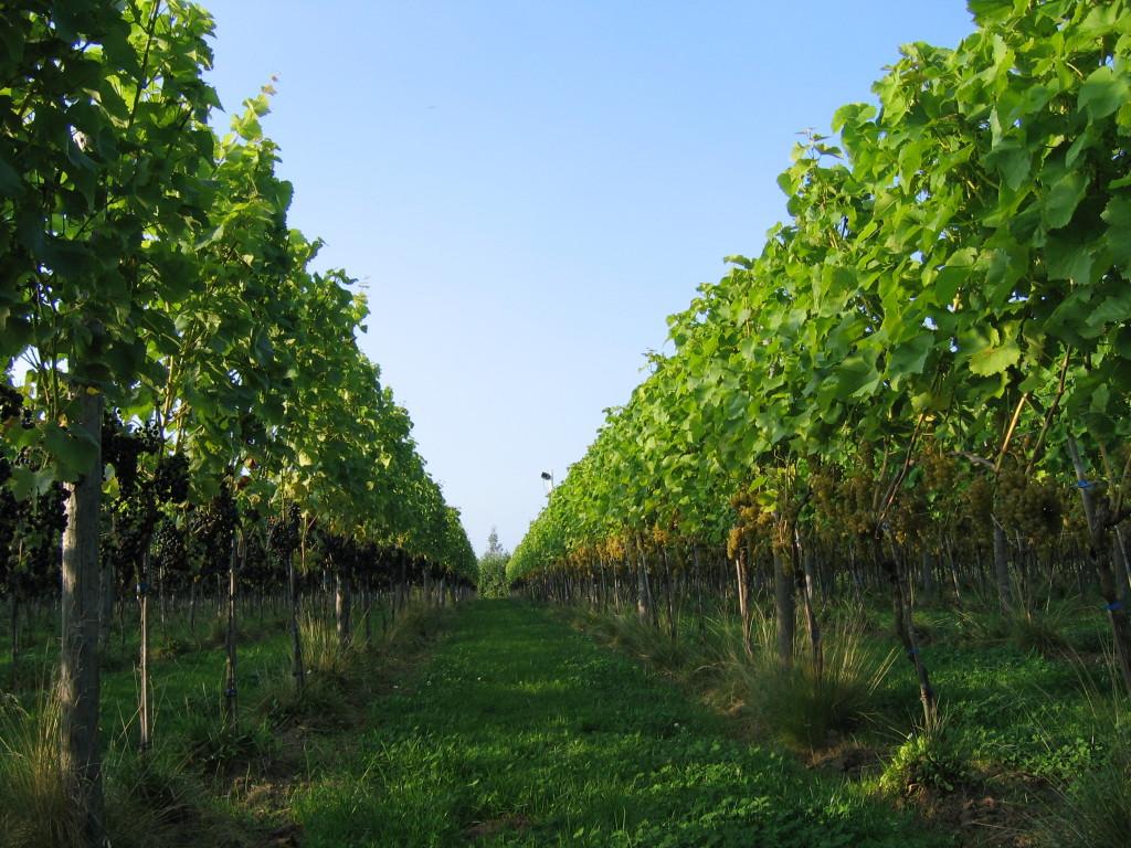 wijngaard augustus