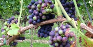 Open wijngaard dagen 2014
